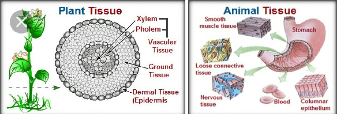 plant and animal tissue - Brainly.in