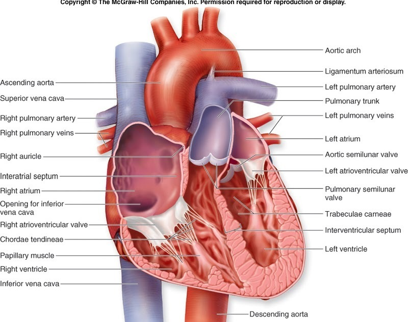Describe The Internal Structure Of Human Heart With The Help Of Well