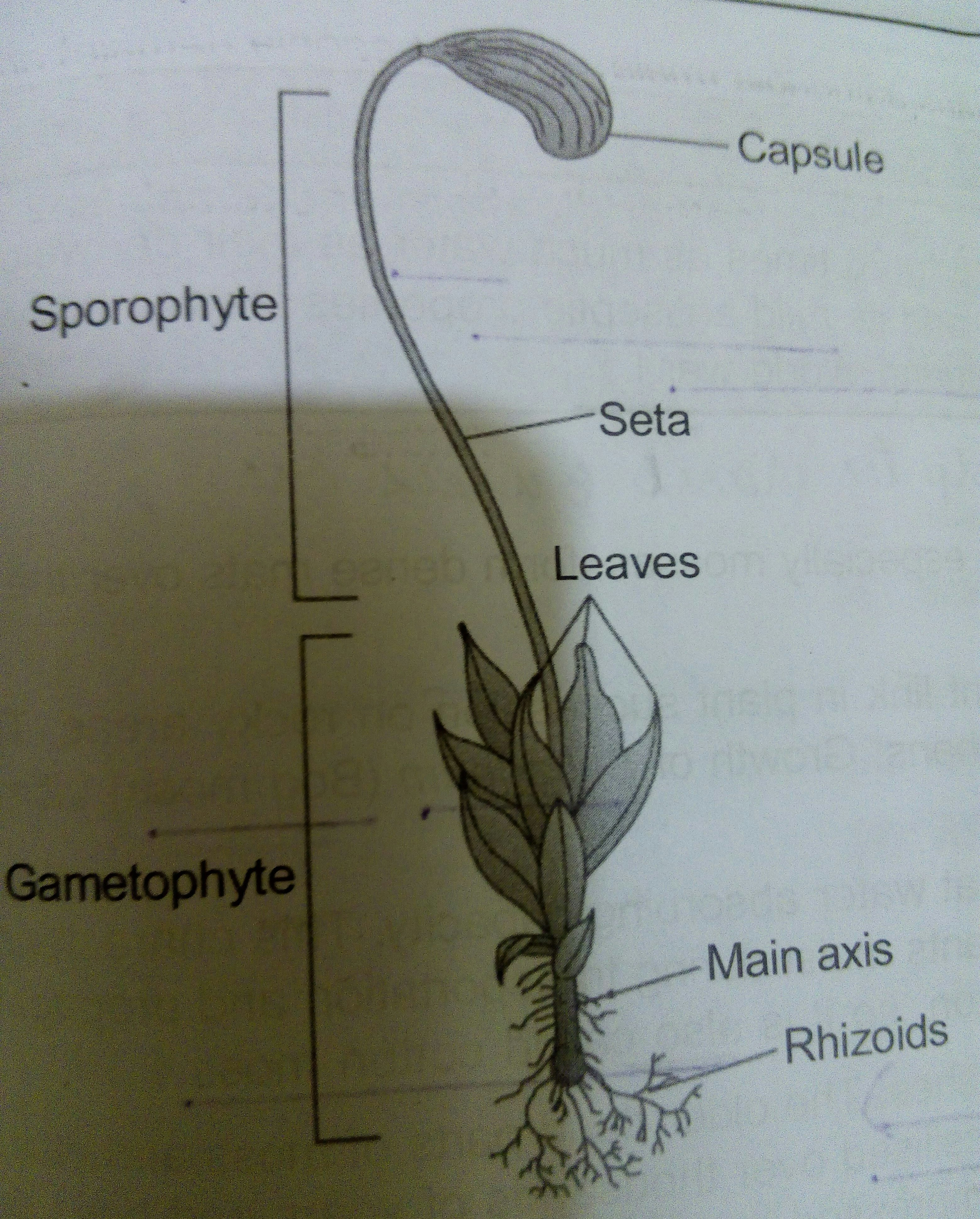 Draw A Well Lebelled Diagram Of A Moss Plant
