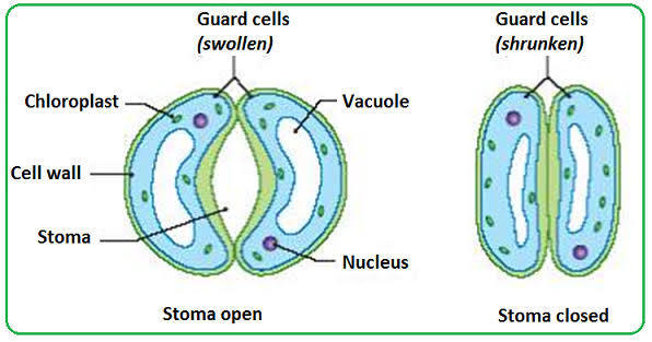 Asin Opening And Closing Of Stomata With The Help Of Labelled