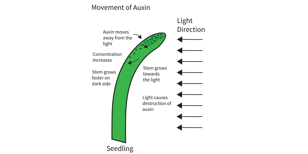 illustrate with the help of a diagram the effect of auxin