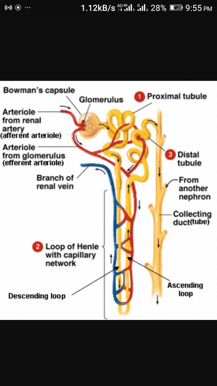 draw a well labeled diagram of nephron - brainly.in