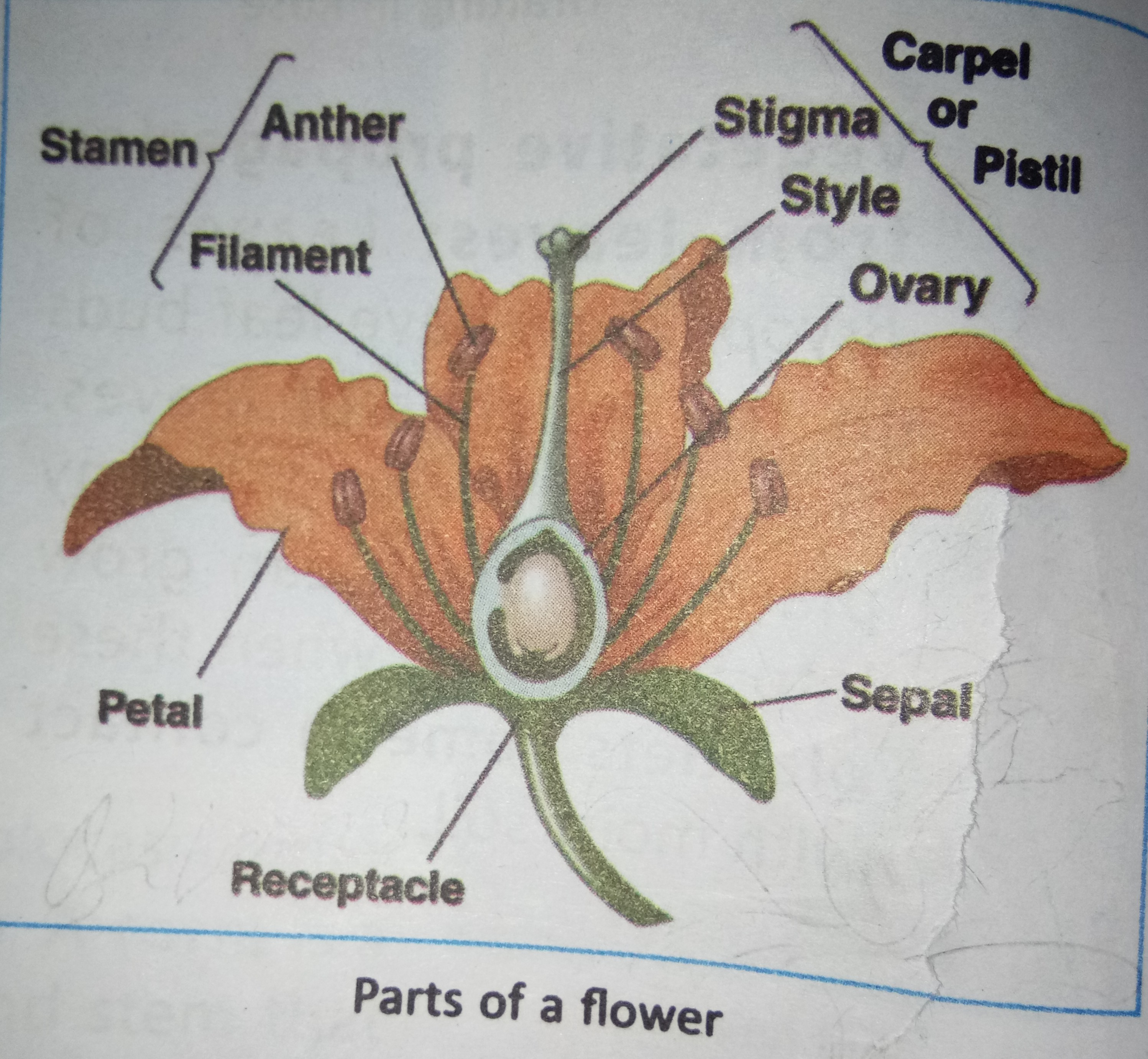 Draw a labelled diagram of a flower and describe its various parts download jpg ccuart Gallery