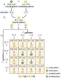 Schematic representation of mendelian dihybrid cross ...