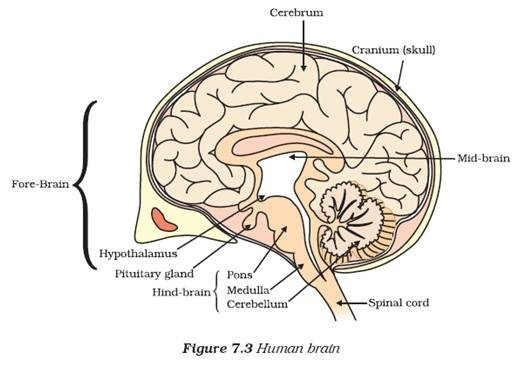 easy steps to draw human brain class 10 ncert write down each step rh brainly in easy brain diagram class 10 Blank Brain Diagram