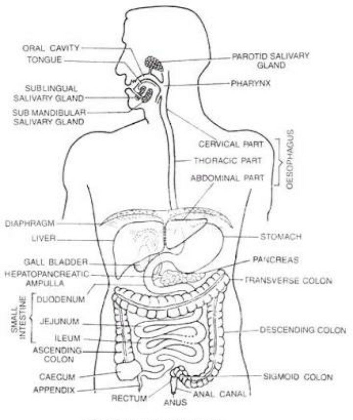 Draw A Levelled Diagram Of Digestive System