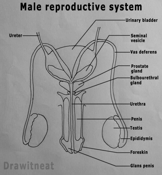 show a easy and draw able diagram of male reproductive. Black Bedroom Furniture Sets. Home Design Ideas