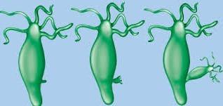 explain budding in hydra meritnation