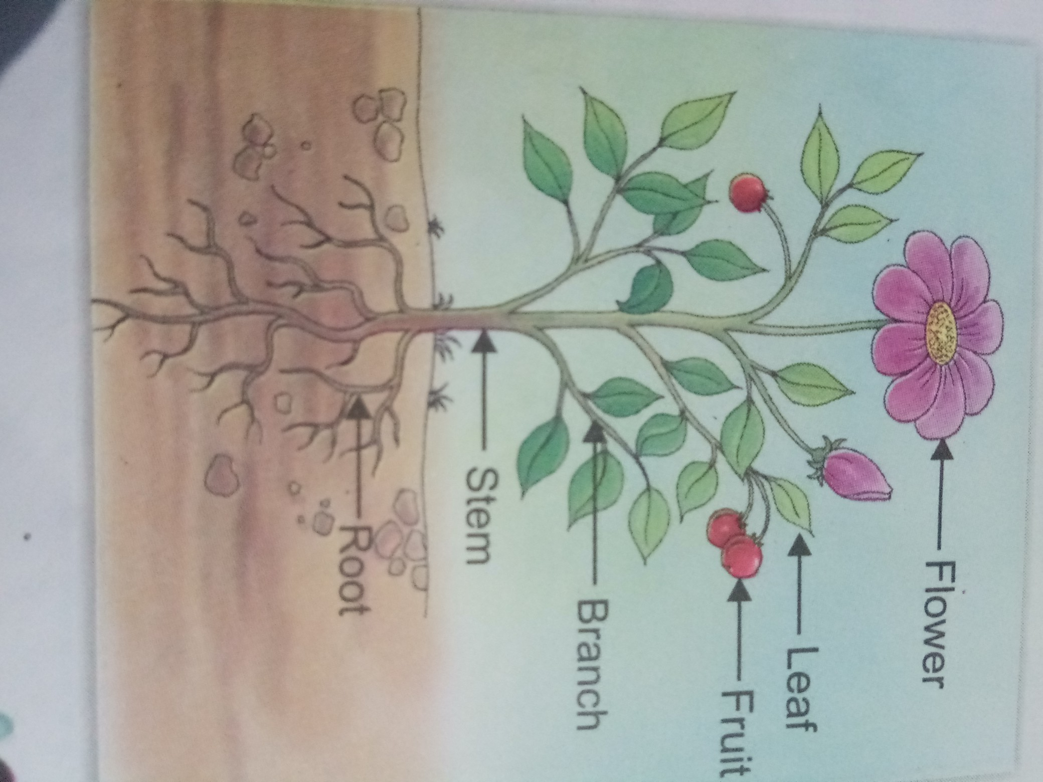 Draw plant and label its different parts like steam leave ...
