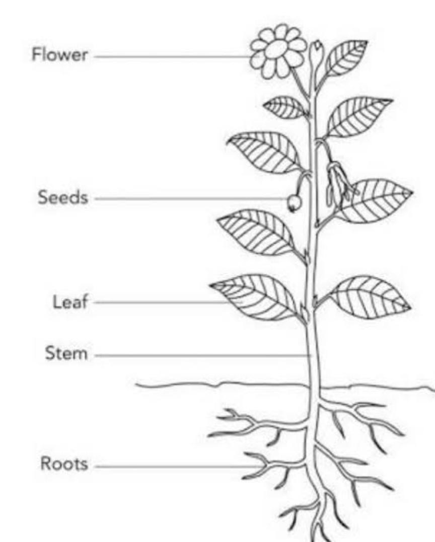 draw a plant and label its part - Brainly.in