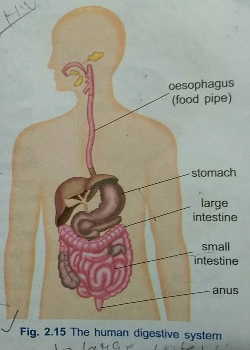 What Is The Function Of Epiglottis In Man Draw A Labelles Diagram