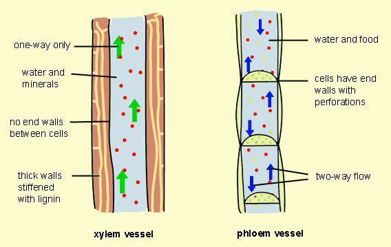 Labelled diagram of xylem and phloem showing its components brainly download jpg ccuart Images