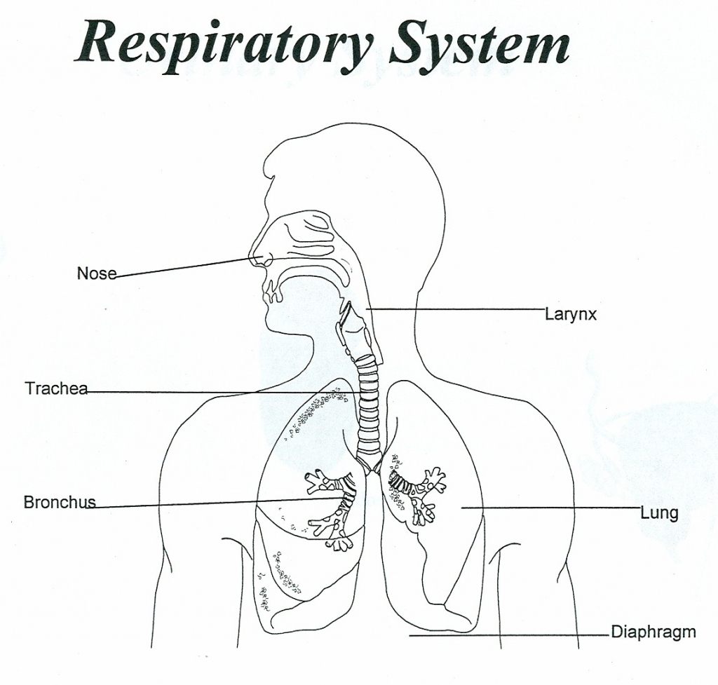 Flow Chart With Diagran About Respiratory System Brainly