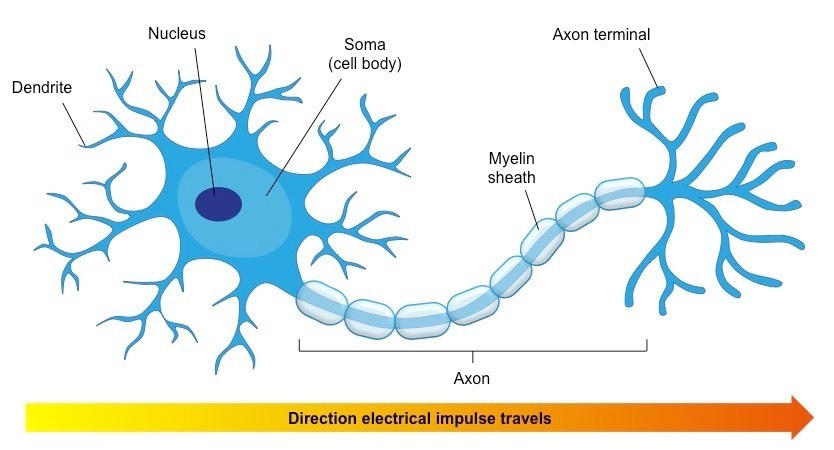 Draw A Labbeled Diagram Of Neuron Brainly