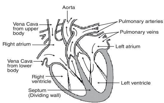Easy Heart Diagram For Class 10th ~ DIAGRAM