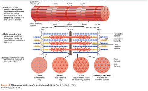 Draw The Diagram Of A Sarcomere Of Skeletal Muscle Showing Different