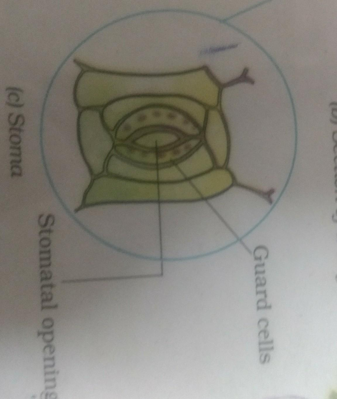 15  What is the shape of guard cells instoma of grass leaf