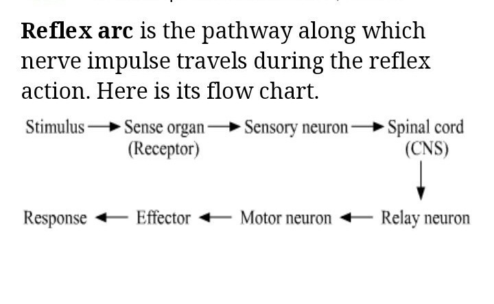 What Is Reflex Arc Explain With The Help Of Flowchart Brainly