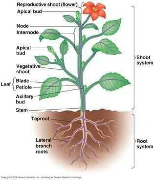 I want a labelled diagram of angiospermzzzzzzz brainly diagram of an angiosperm plant ccuart Images