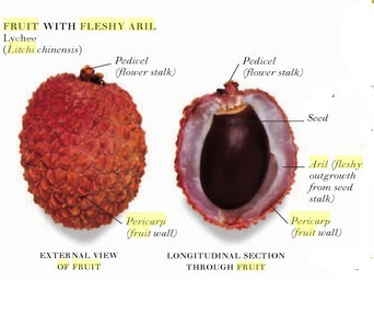 Which Part Of Litchi Fruit Is Eaten Brainly In