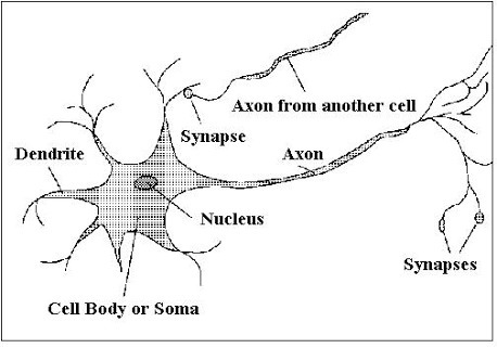 Draw A Well Labelled Diagram Of Neuron Brainly In