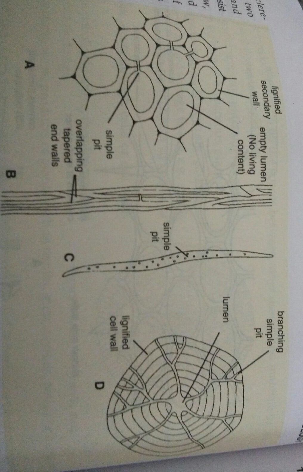 labelled diagram of sclerenchyma cell brainly in Dicot Stem Labeled