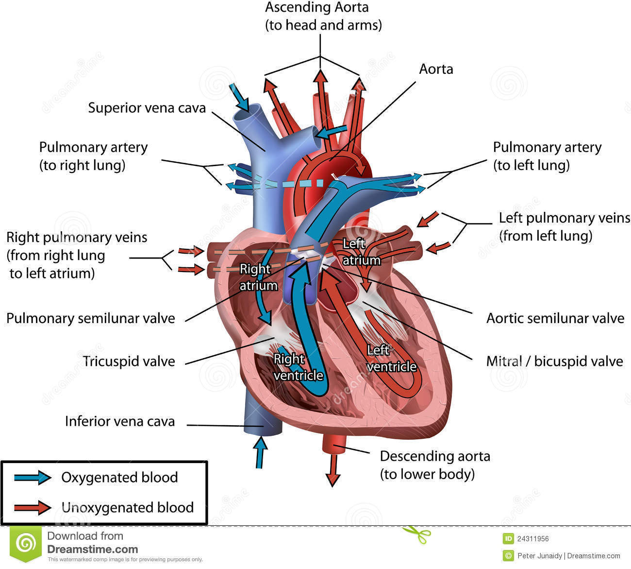 Draw a diagram of the vertical section of human heart to show the download jpg ccuart Images