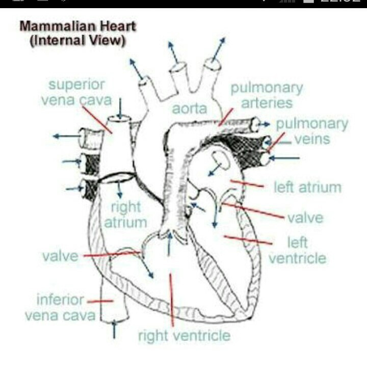 Describe the structure of the heart of rabbit. Draw a neat ...