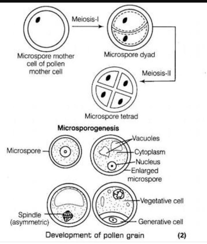 How Does Pollen Mother Cell Develops Into A Mature Pollen Grain
