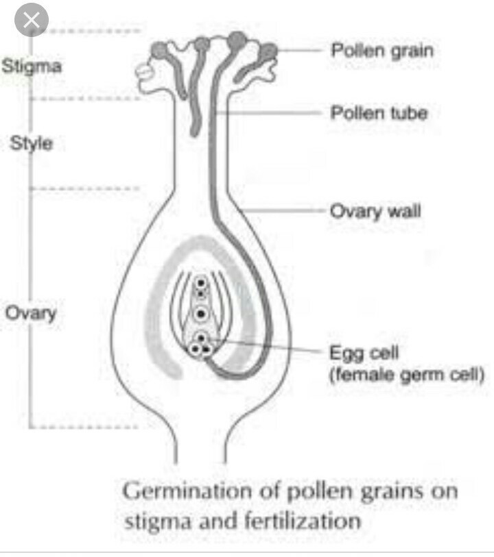 Reproductive Parts Diagram Of Pistil Flowers Electrical Work