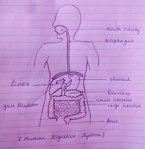 Easy Steps To Draw Human Digestive System Class 10 Ncert Write