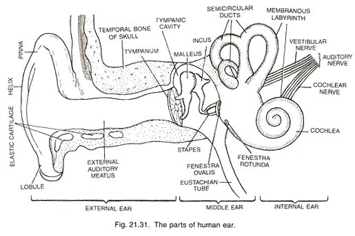 draw a neat diagram of human ear and label external ear