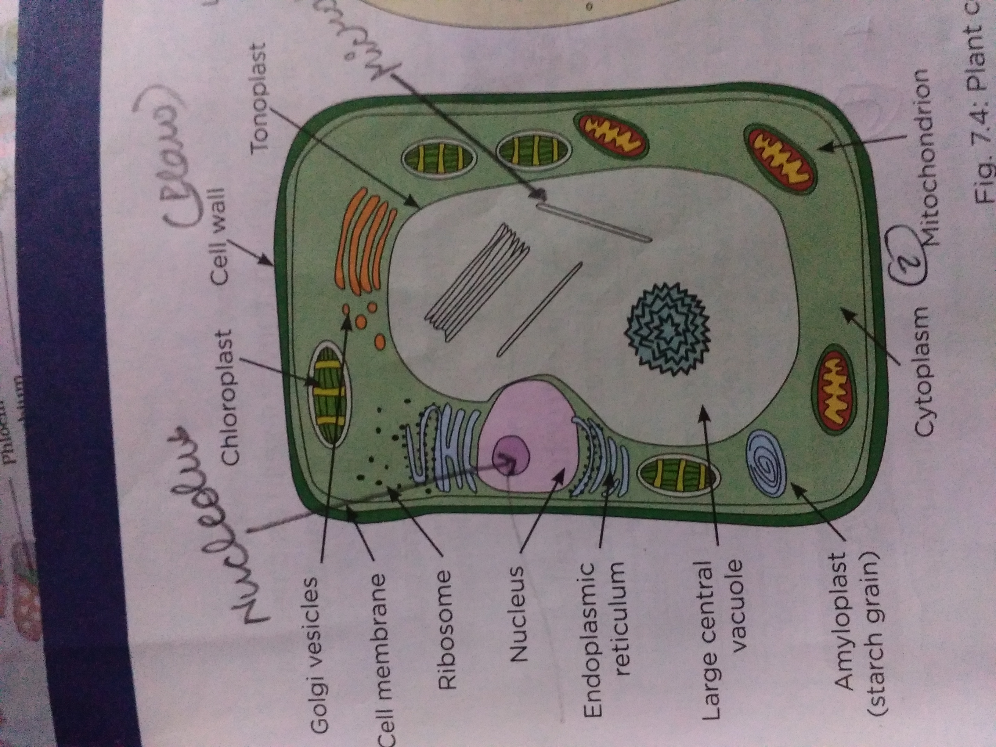draw a neat diagram of plant cell and label the following ...