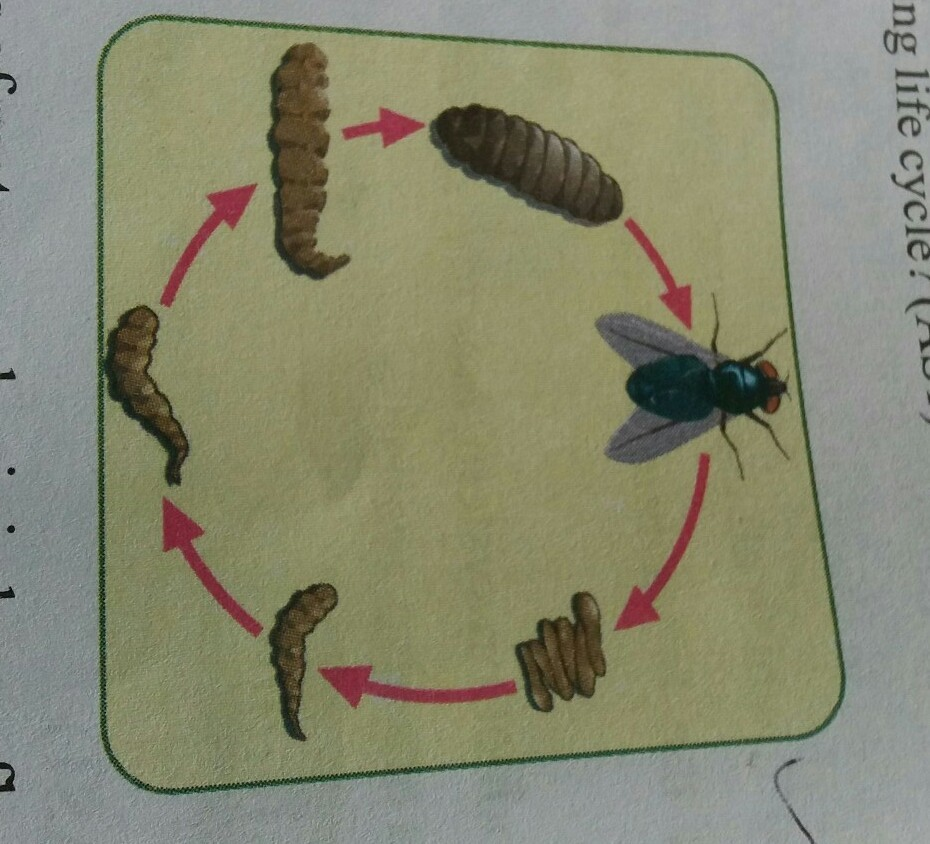 Explain the process of metamorphosis in house fly by the help of download jpg ccuart Choice Image