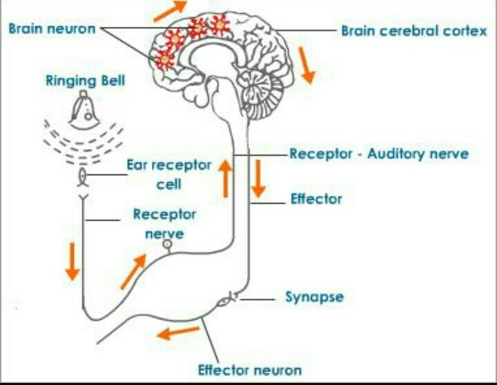 Class-10,what is the role of brain in reflex action?(short ...