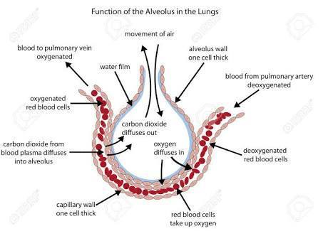 How gaseous exchange takes place at alveoli level brainly download jpeg ccuart Gallery