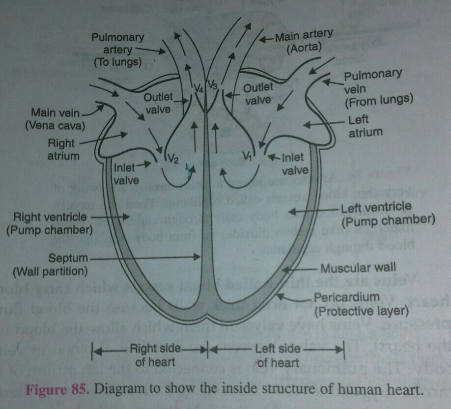 describe the structure of heart with diagram - Brainly.in