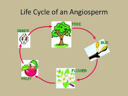 angiosperm questions A free biological review of angiosperms based on questions and answers flower parts, monocots, dicots and all important information.