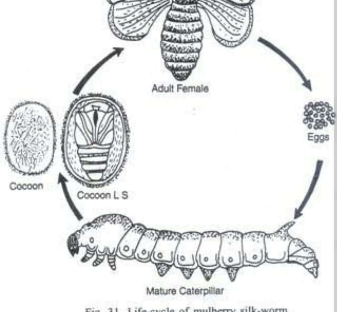 Moth Life Cycle Diagram Modern Design Of Wiring A Butterfly To Show Silk Brainly In Rh Luna