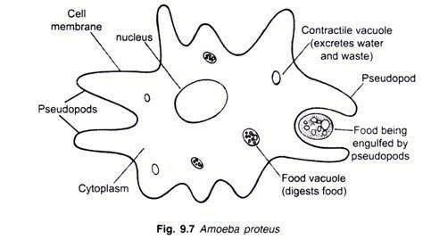 Amoeba Diagram School Science All Kind Of Wiring Diagrams