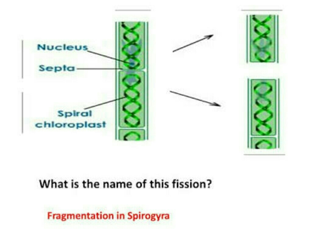 diagram for fragmentation in spirogyra - Brainly.in  diagram for fra...