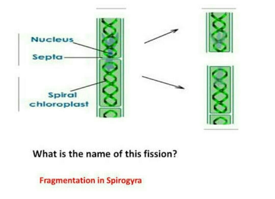 Diagram for fragmentation in spirogyra brainly download jpg ccuart Gallery