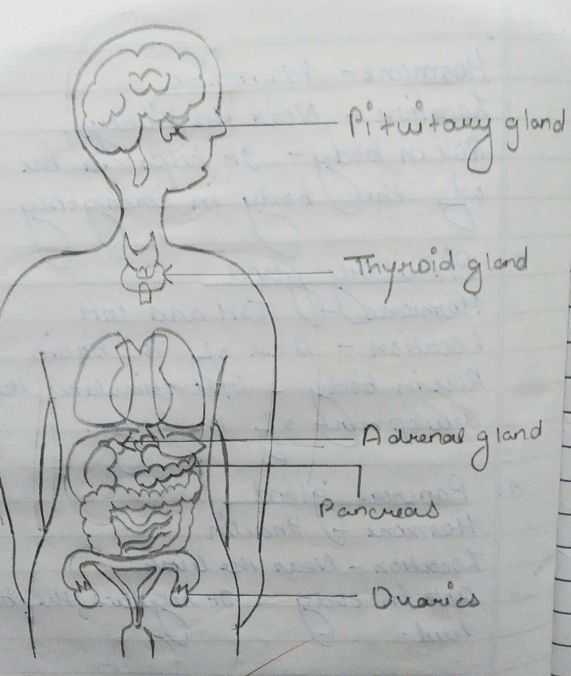 Draw A Well Labelled Diagram Of Endocrine System Brainly In