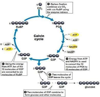 Calvin Cycle Only Through A Diagram Brainly