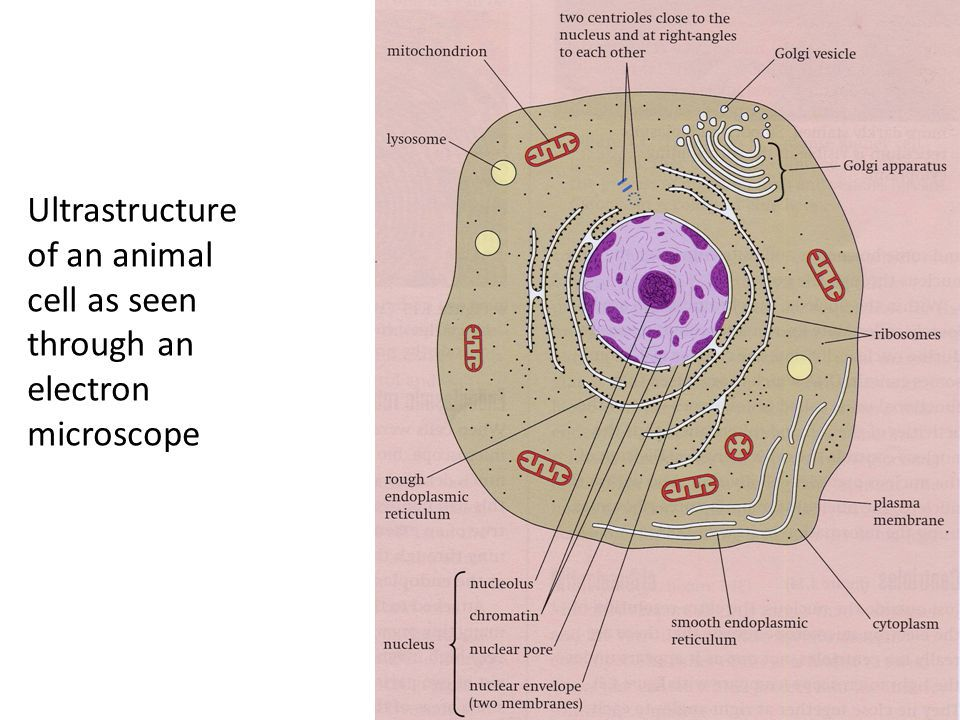 Q14 Draw a large diagram of an animal cell as seen through ...