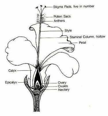 A Diagram Of Hibiscus Flower Brainlyin