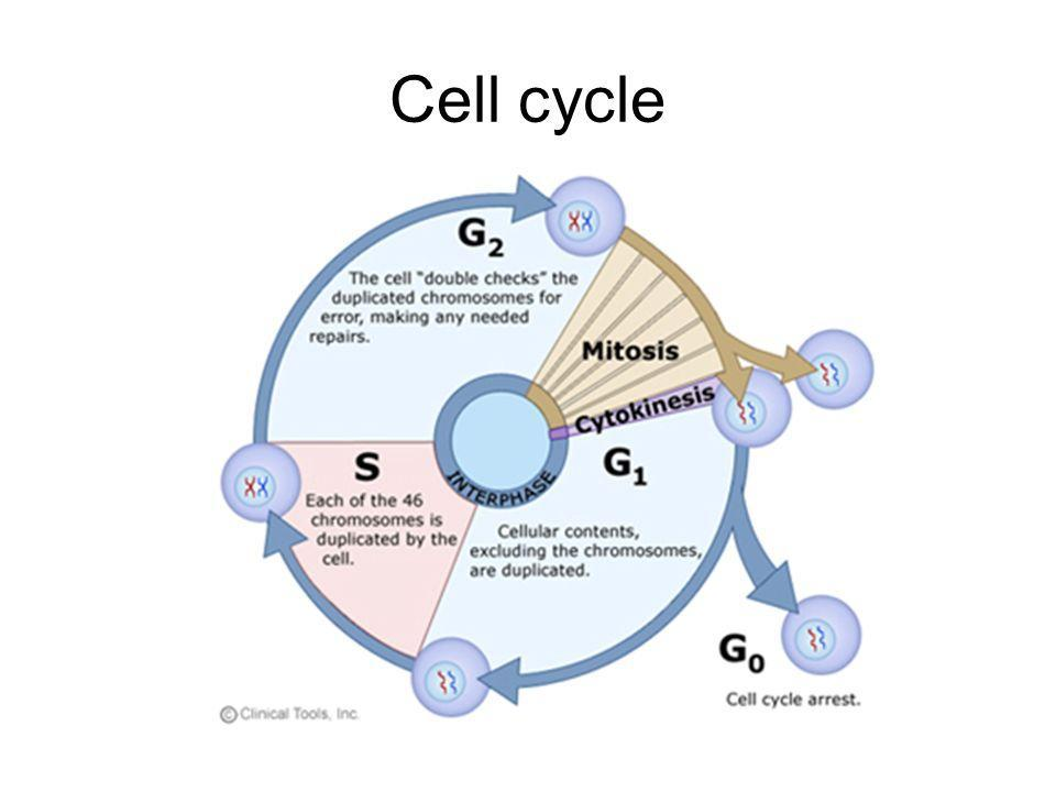 33 Draw And Label The Cell Cycle