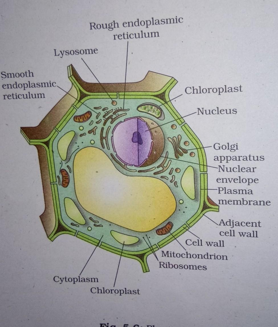 draw a diagram of a plant cell.label the following parts ...