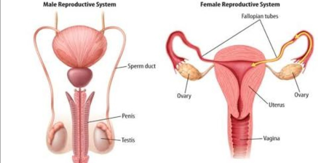 Draw a labeled diagram of i male reproductive system ii female download jpg ccuart Choice Image