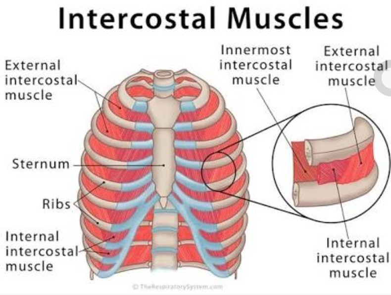 How Does Intercostal Muscles Look Like How Do They Pull The